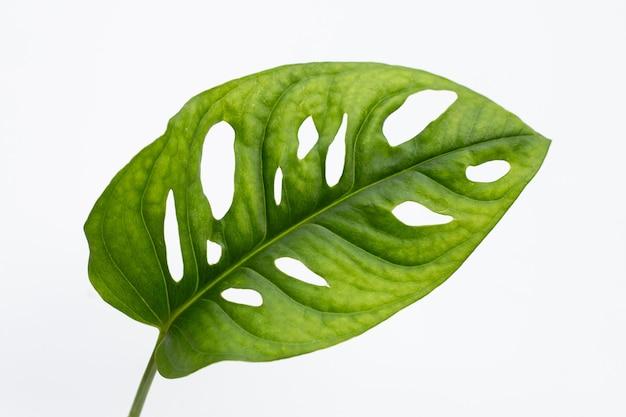 Лист monstera adansonii или домашнее растение из швейцарской сырной лозы