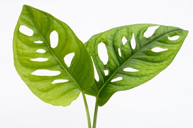 Листья monstera adansonii или домашнее растение из швейцарской сырной лозы
