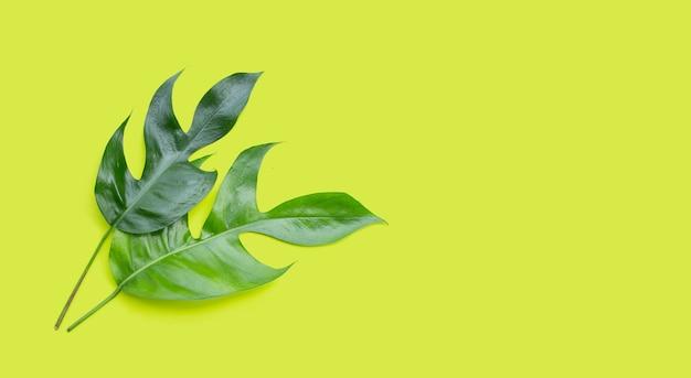 Monstera adansonii 또는 monstera deliciosa liebm은 녹색 배경에 나뭇잎. 공간 복사