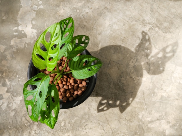 Monstera adansonii  or  swiss cheese vine in black pot on cement floor background in morning light top view