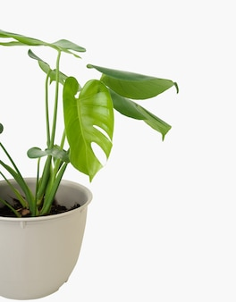 Monstera deliciosa exotic green leaf in white flower potted  isolated on white background with clipping path
