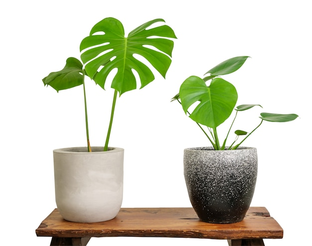 Monstera deliciosa swiss cheese plant houseplants green leaves isolated on white