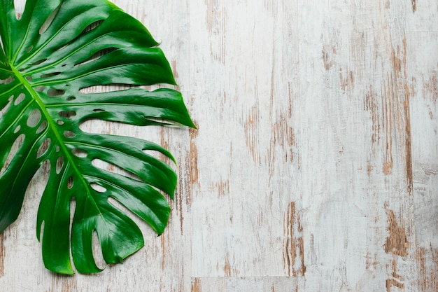 Monstera deliciosa, swiss cheese plant or hurricane plant leaf on a shabby white wood background with space for copy text.