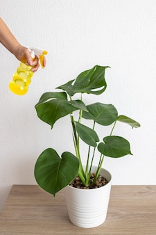 Monstera deliciosa or swiss cheese plant in pot tropical leaves background. the woman sprays the flower from the bullet.