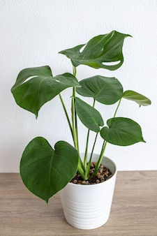 Monstera deliciosa, swiss cheese plant in white pot, tropical leaves background. the concept of minimalism.