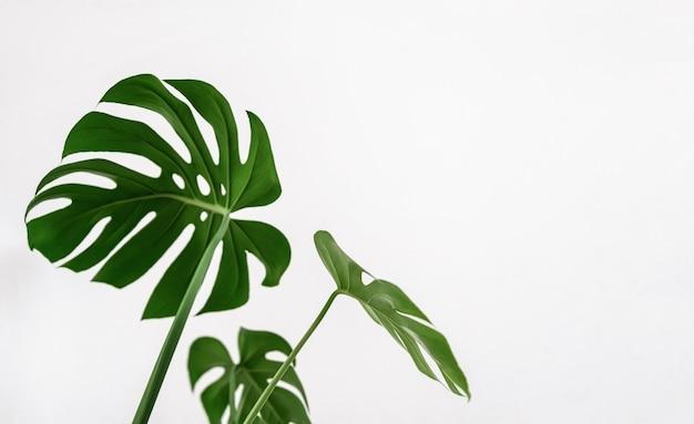 Monstera deliciosa 열대 녹색 잎. 흰색 바탕에 잎 집 식물입니다. 미니멀리즘, 빈 공간을 복사합니다. 선택적 흐리게 초점.