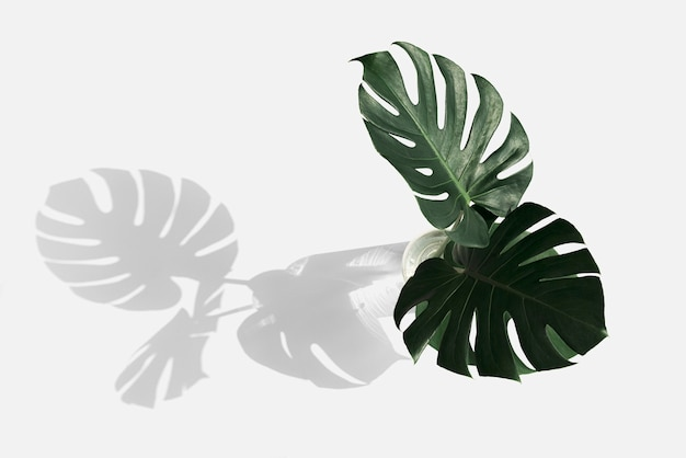 Monstera delicosa plant leaf on an off white background