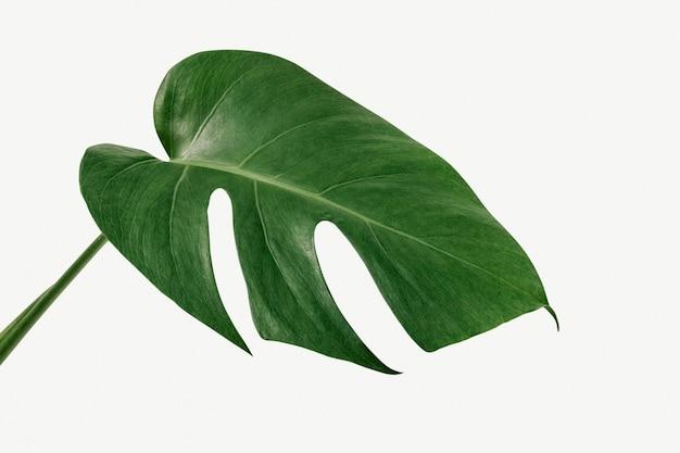 白い背景の上のmonsteradelicosa植物の葉