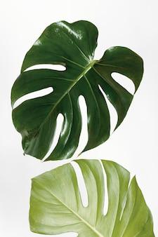 オフホワイトの背景にmonsteradelicosa植物の葉