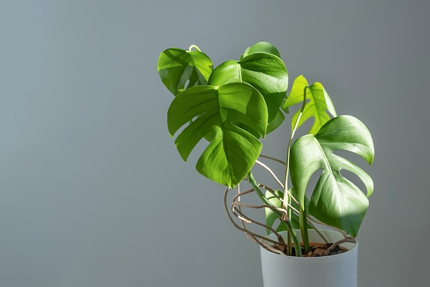 Monstera flower in a white pot on a grey background