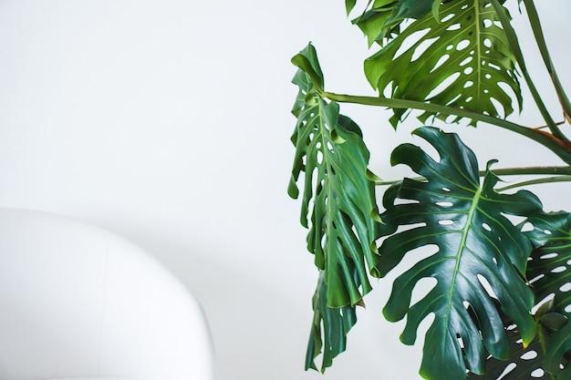 Монстера зеленые большие листья и белый стул