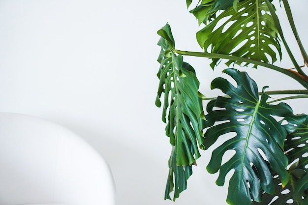 Monstera green big leaves and white chair