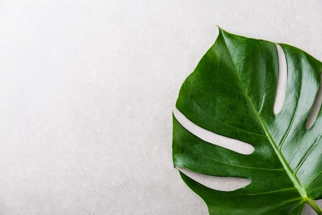 Monstera green leaf on grey