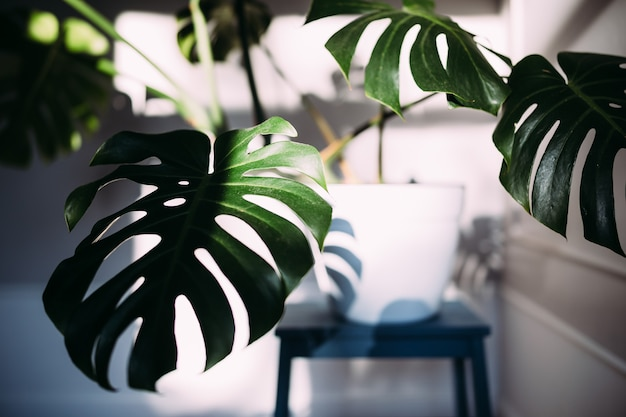 Monstera green leaves or monstera deliciosa indoor house plant in pot
