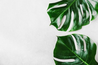 Monstera green leaves on grey