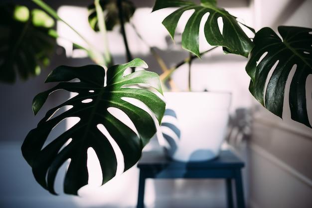 Зеленые листья монстеры или комнатное растение монстера деликатес в горшке