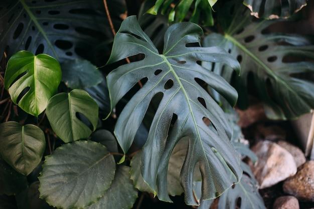 Monstera 녹색 잎 또는 monstera deliciosa