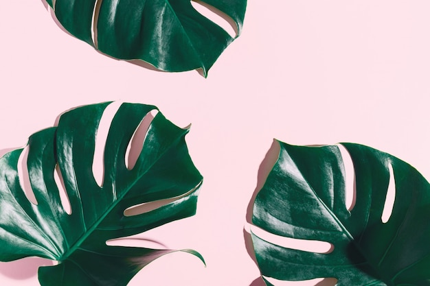Monstera green leaves on pink