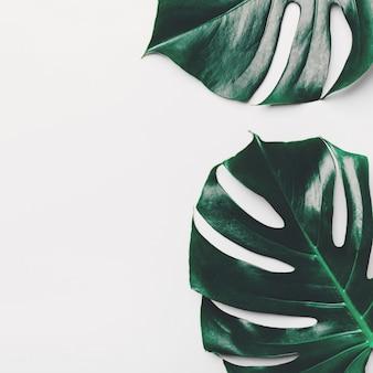 Monstera green leaves on white
