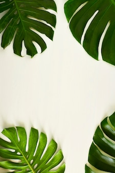 Monstera green leaves with copy space