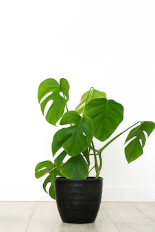 Monstera house plant in white interior. vertical,  isolated