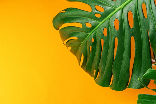 Monstera leaf on a bright yellow background. flat lay