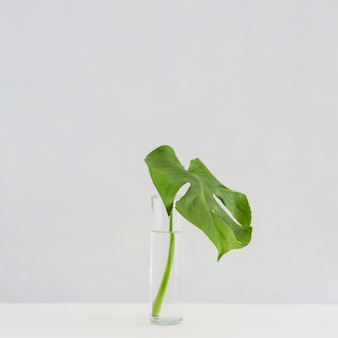 Monstera leaf in glass vase on desk against white background