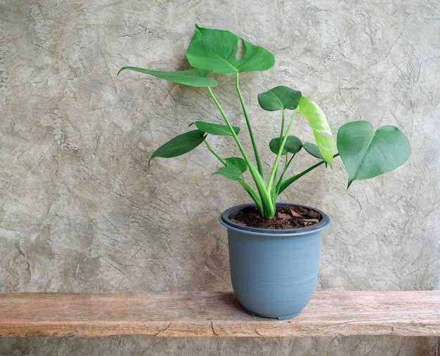 시멘트 벽이 있는 소박한 나무 선반에 파란색 냄비에 몬스테라 잎 집 식물