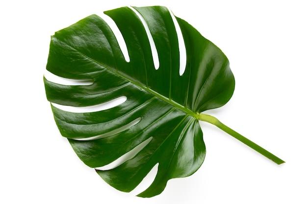 Monstera 잎 클리핑 패스와 흰색 배경에 고립. 팜 리프, 진짜 열대 정글 단풍 스위스 치즈 공장. 평평하고 평면도.