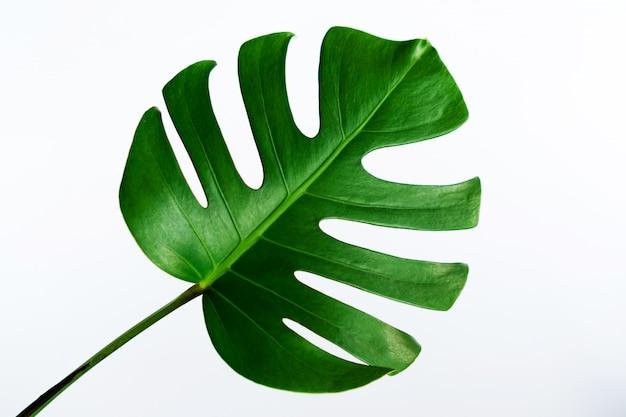 몬스 테라 잎 클리핑 경로와 흰색 배경에 고립.