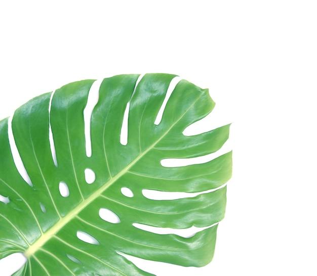 클리핑 패스와 함께 흰색 배경에 고립 된 monstera 잎