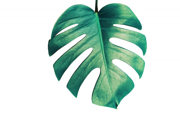 Monstera leaf isolated on white background with clipping path.