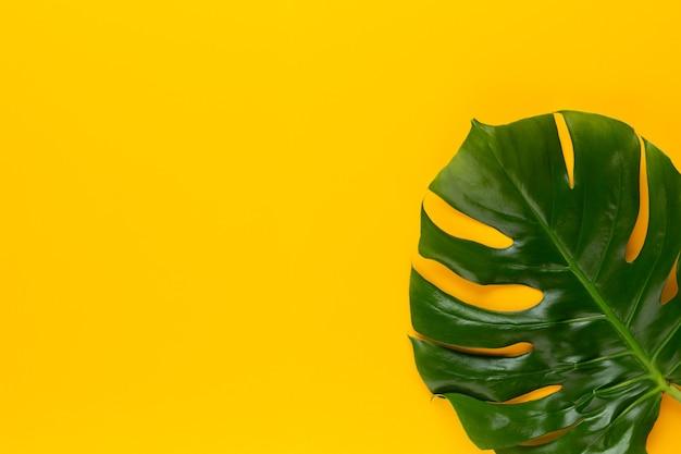 色の背景にmonsteraの葉。ヤシの葉、本物の熱帯のジャングルの葉スイスのチーズ植物。フラットレイと上面図。