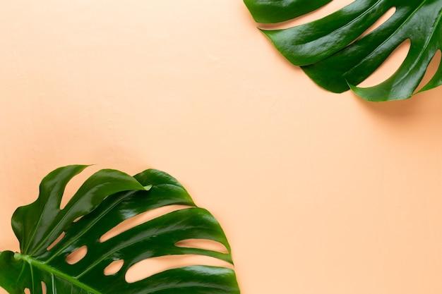 색상 배경에 monstera 잎입니다. 팜 리프, 진짜 열대 정글 단풍 스위스 치즈 공장.