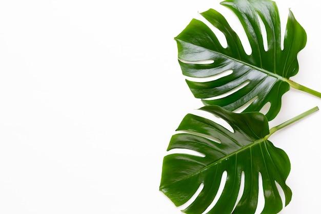 白い木製の背景にmonsteraの葉。ヤシの葉、本物の熱帯のジャングルの葉スイスのチーズ植物。フラットレイと上面図。