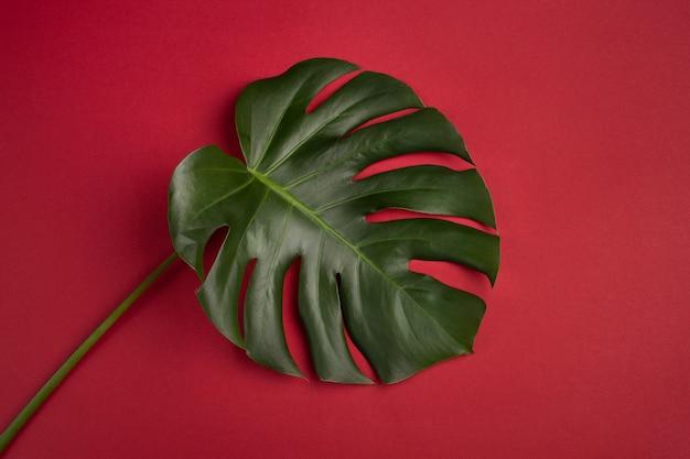 Monstera leaf on red background