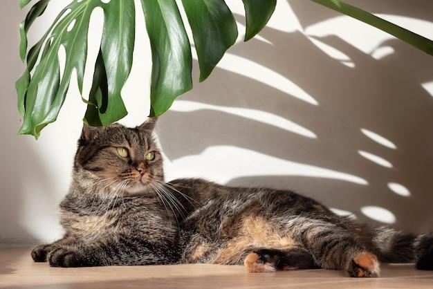 日光からのハードシャドウと白い壁の背景に横たわっている飼い猫とモンスターの葉。
