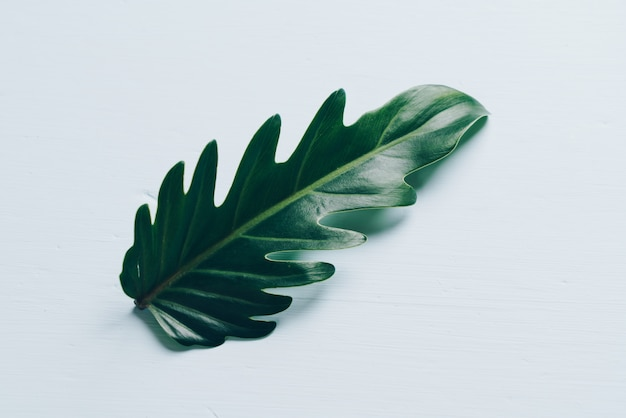 Monstera leave on white wall