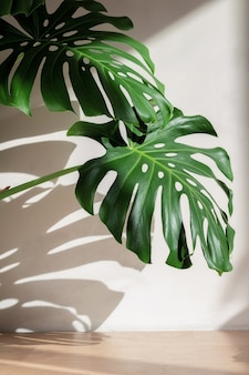 Monstera leaves against a white concrete wall with beautiful shadows from natural sunlight.