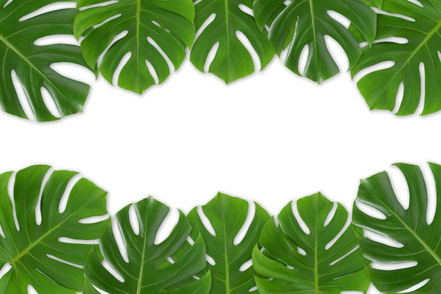 Monstera leaves frame on white background isolated