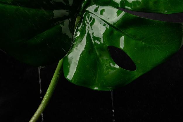 몬스테라 잎은 검은 배경에 젖고, 빗방울은 잎에 떨어집니다. monstera는 녹색이고 큰 엽이 있는 식물입니다. 장식하는 것이 인기입니다.