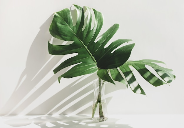 Monstera leaves in glass jug with sunlight and long shadow on white wall