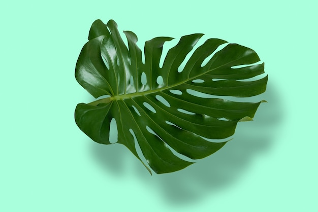 Листья монстеры в тропическом лесу, изолированные на пастельном фоне с тенями