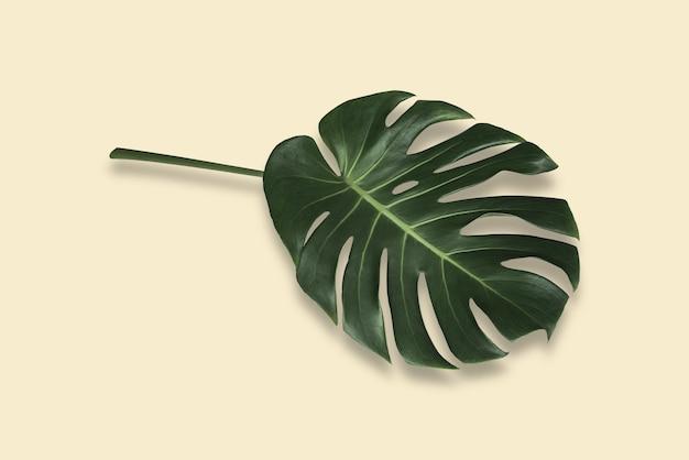 影とパステル背景に分離された熱帯林のモンステラの葉