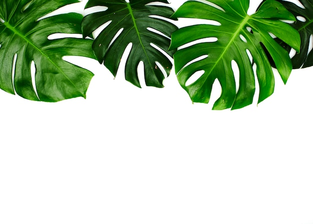 Monstera leaves isolated