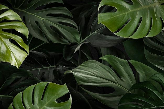 モンステラは自然の背景の壁紙を残します