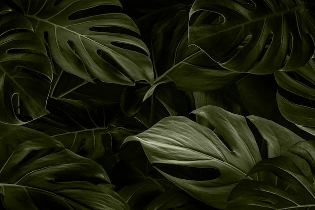 Monstera leaves nature background