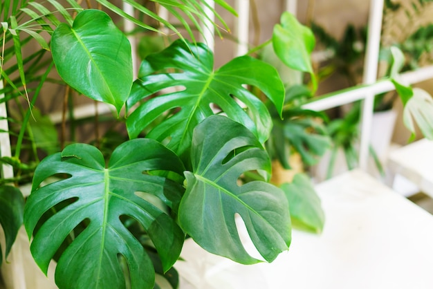 Monstera leaves or swiss cheese factory or monstera gourmet in nature tropical green leaves backgrou...