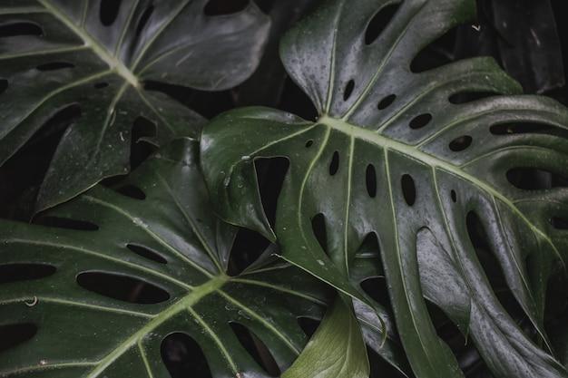 Monstera leaves tropic jungle texture