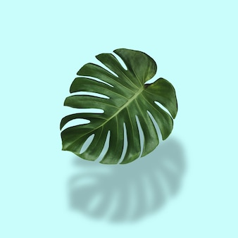 Monstera leaves in tropical forest isolated on pastel background with shadows